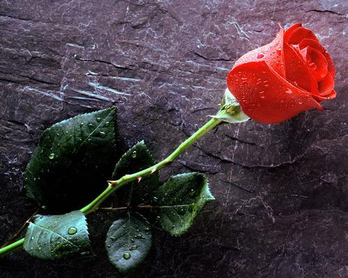 Surat Cinta 18 Dari Setangkai Bunga Mawar Untuk Krikil Di