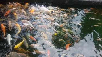 Kolam ikan. Dih, ini ikan-ikannya gede banget!